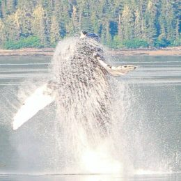 Best Alaska Carnival Cruise Excursion humpback whale breaching