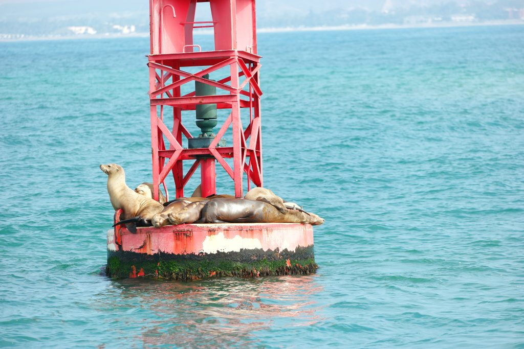 The-Focus-and-Fun-of-Cave-Kayaking-Around-the-Channel-Islands_SeaLions