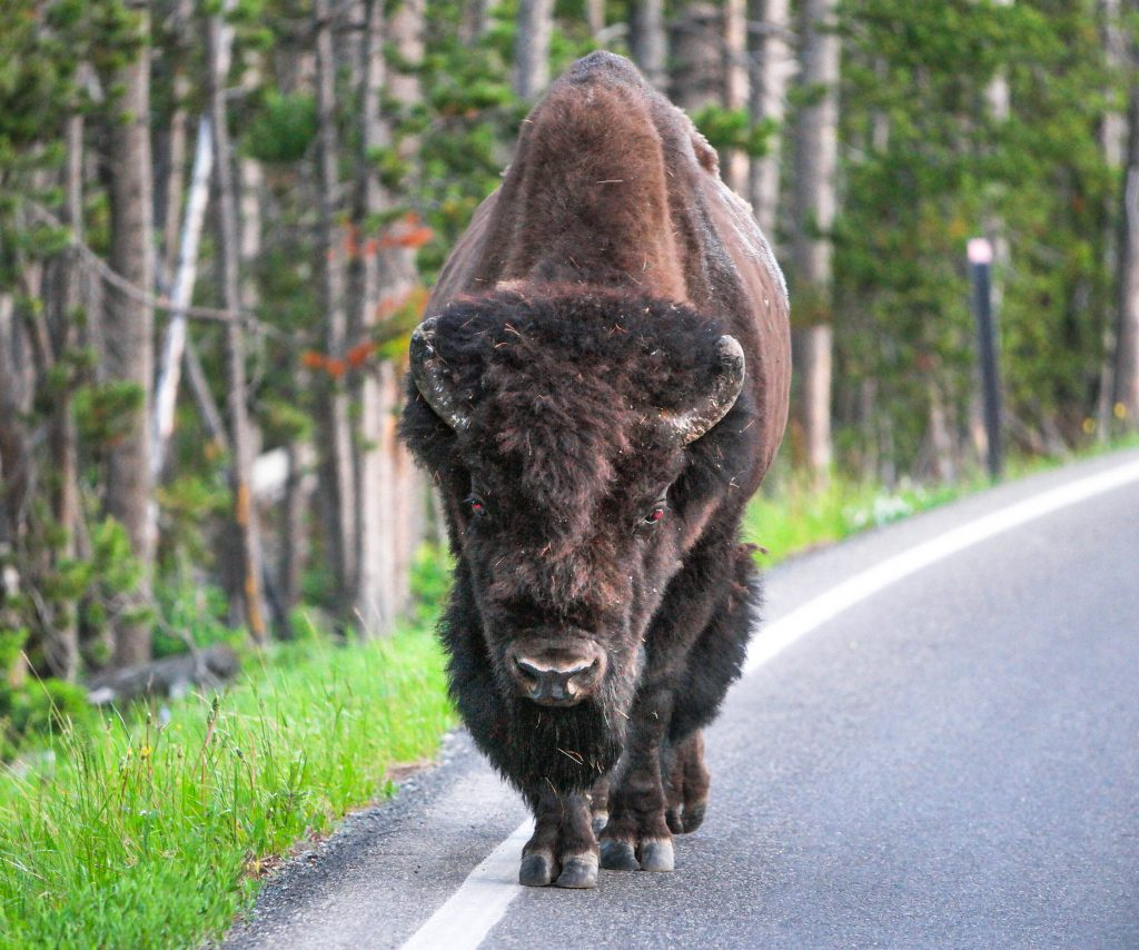 How I Created A Perfect Yellowstone Moment To Last A Lifetime_Yellowstone Park Bison on the Road