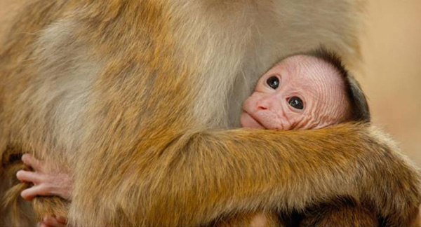 Disneynature Monkey Kingdom Screenshot