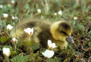 The Ballad of a Goose Mom Blogger