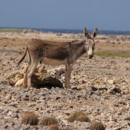 Carnival Cruise Bonaire Wild Donkeys
