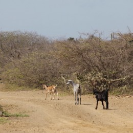 Carnival Cruise Bonaire Wild Goats
