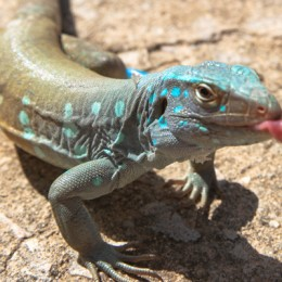 Carnival Cruise Bonaire Wild Lizards
