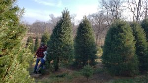 2019 Chevy Silverado Christmas Tree Farm Experience_Yeagers Tree Farm Cutting Christmas Tree